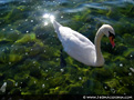 Ohrid - Friendly swan